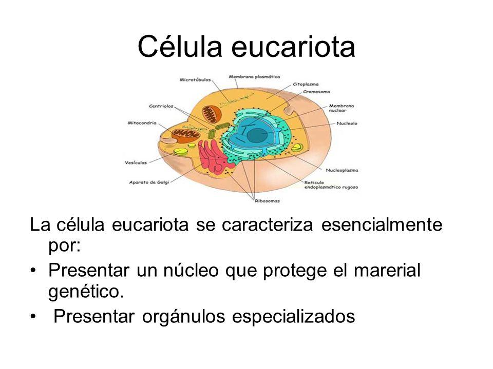Célula eucariota La célula eucariota se caracteriza esencialmente por: Presentar un núcleo que protege el marerial genético. Presentar orgánulos espec