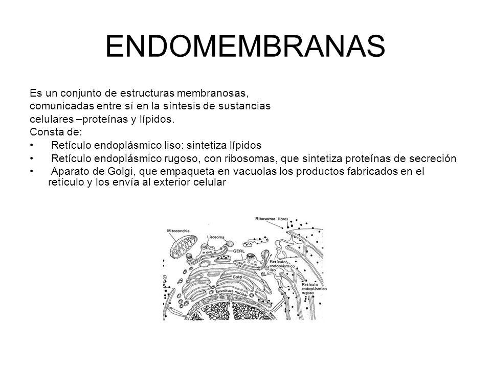 ENDOMEMBRANAS Es un conjunto de estructuras membranosas, comunicadas entre sí en la síntesis de sustancias celulares –proteínas y lípidos. Consta de: