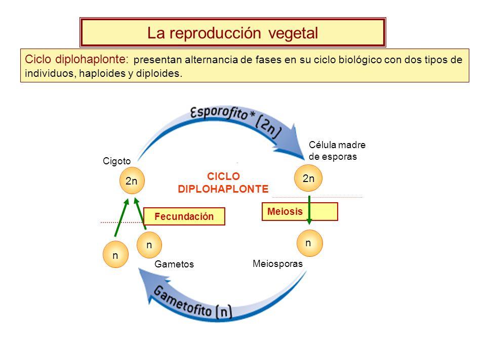 La reproducción vegetal Ciclo diplohaplonte: presentan alternancia de fases en su ciclo biológico con dos tipos de individuos, haploides y diploides.