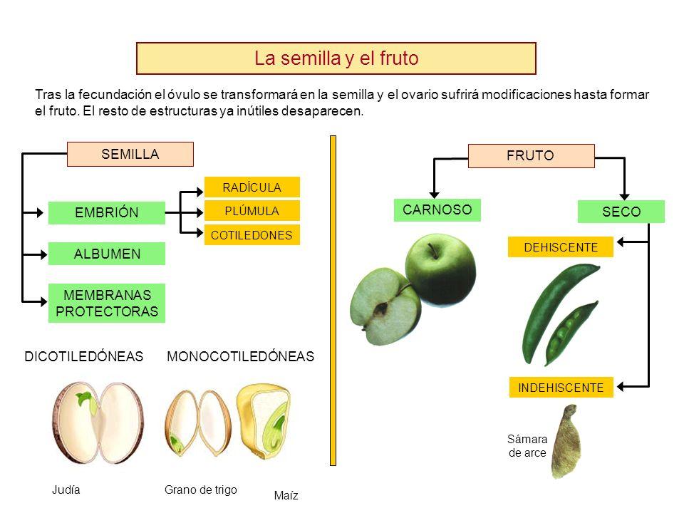 La semilla y el fruto Tras la fecundación el óvulo se transformará en la semilla y el ovario sufrirá modificaciones hasta formar el fruto. El resto de