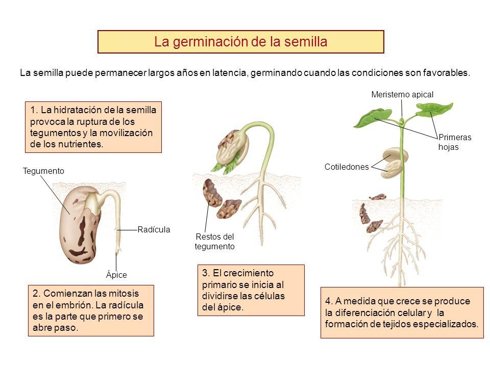 La germinación de la semilla La semilla puede permanecer largos años en latencia, germinando cuando las condiciones son favorables. 1. La hidratación
