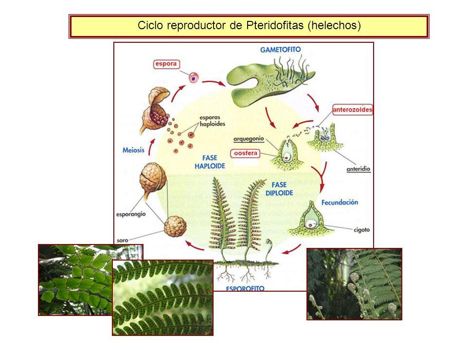 Evolución de la reproducción en las plantas: aumento progresivo del esporofito (más resistente) y disminución del gametofito, hasta llegar a instalarse sobre el esporofito que le protege y le nutre.