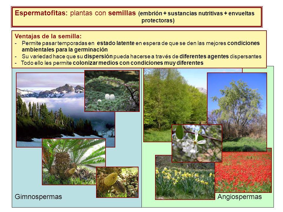 Espermatofitas: plantas con semillas (embrión + sustancias nutritivas + envueltas protectoras) Ventajas de la semilla: -Permite pasar temporadas en es