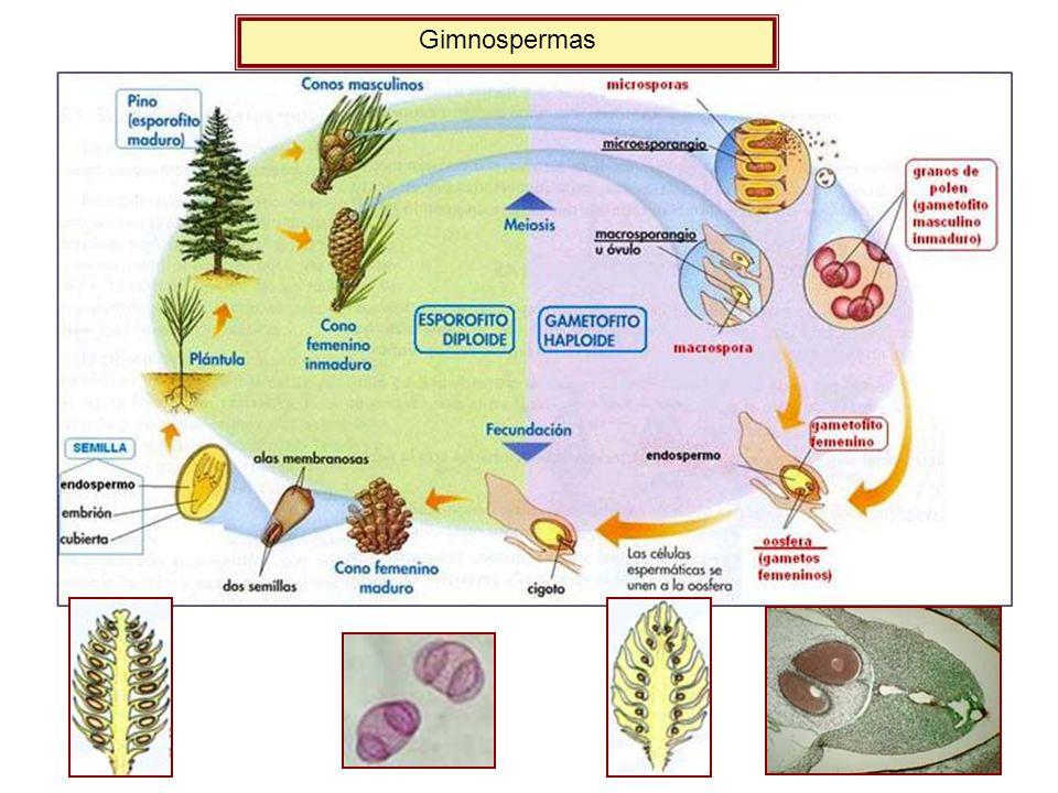 Gimnospermas
