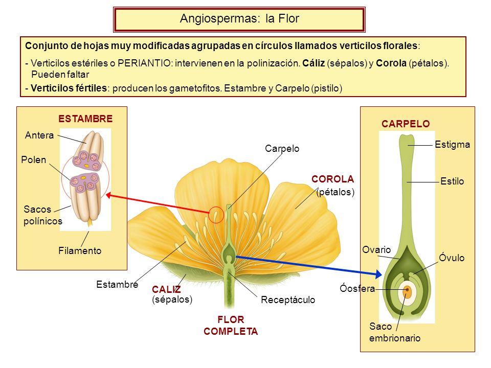 FLOR COMPLETA Conjunto de hojas muy modificadas agrupadas en círculos llamados verticilos florales: - Verticilos estériles o PERIANTIO: intervienen en