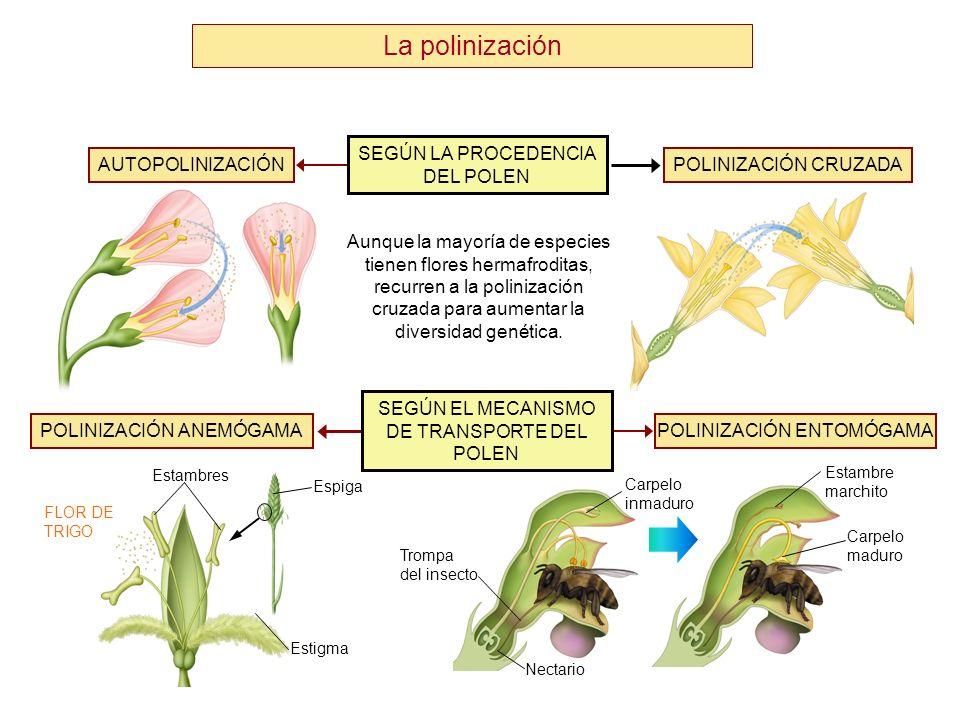 Formación de la semilla Núcleos secundarios Saco embrionario Oosfera Núcleos espermáticos 2.