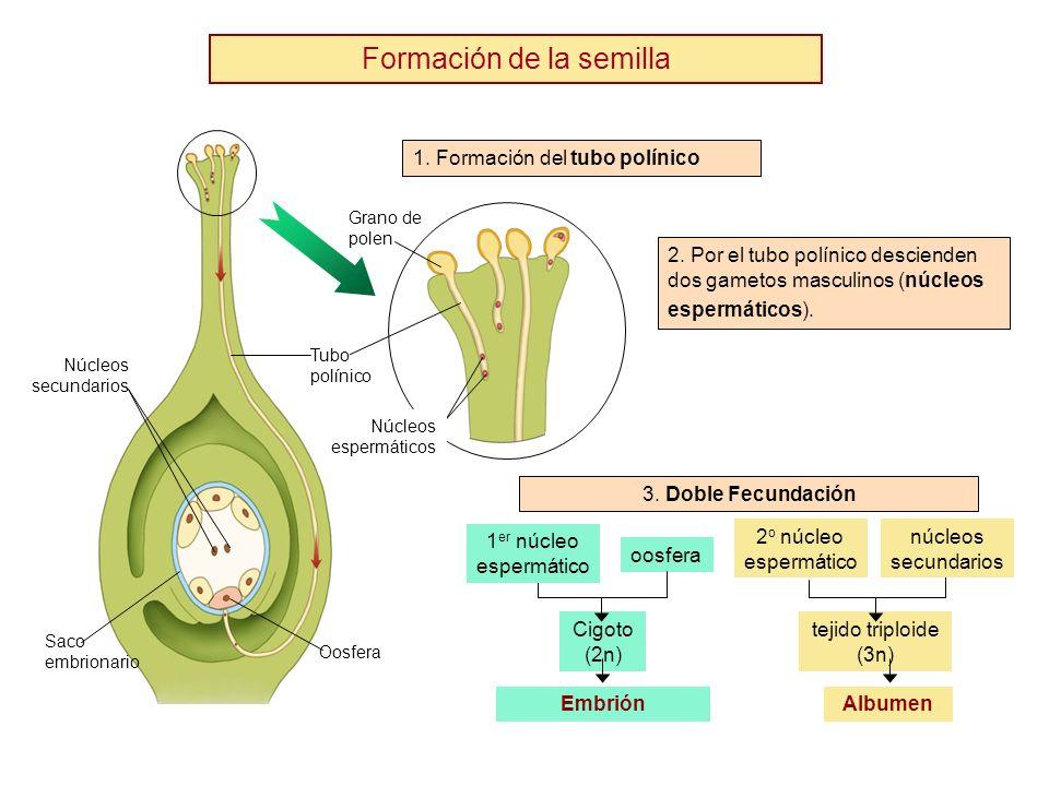 Formación de la semilla Núcleos secundarios Saco embrionario Oosfera Núcleos espermáticos 2. Por el tubo polínico descienden dos gametos masculinos (n