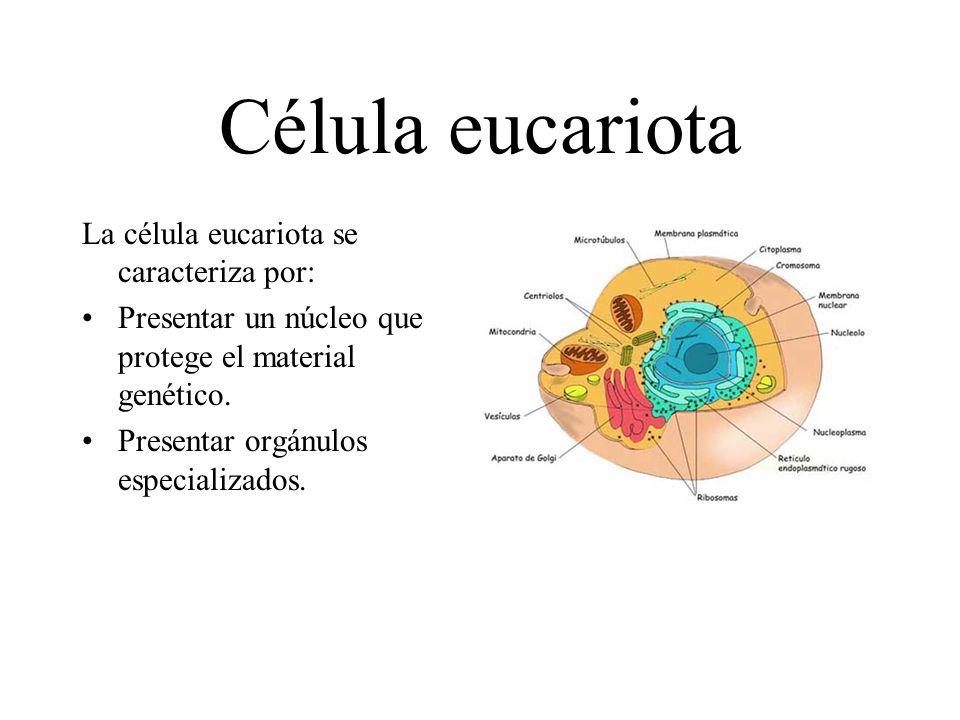 Célula eucariota La célula eucariota se caracteriza por: Presentar un núcleo que protege el material genético. Presentar orgánulos especializados.