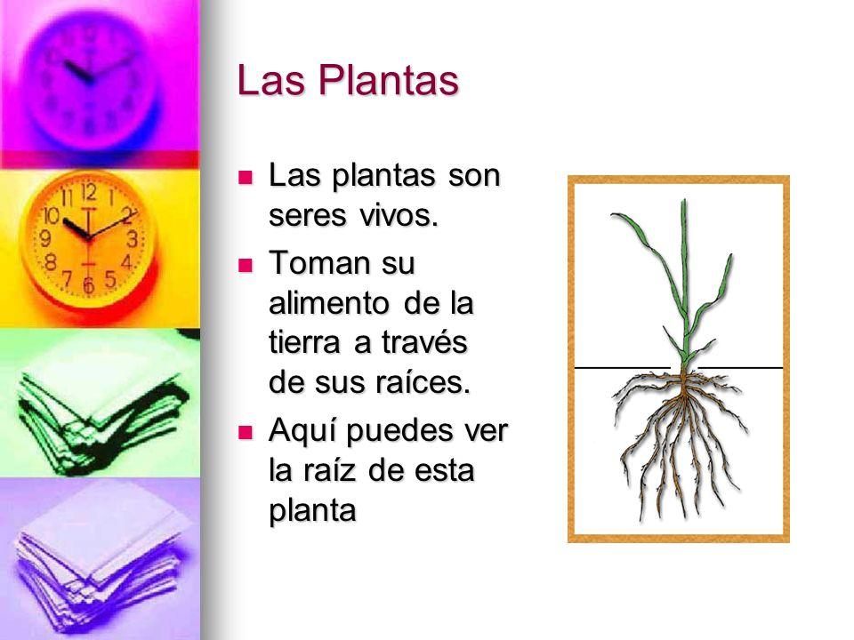 Las Plantas Las plantas son seres vivos. Toman su alimento de la tierra a través de sus raíces. Aquí puedes ver la raíz de esta planta