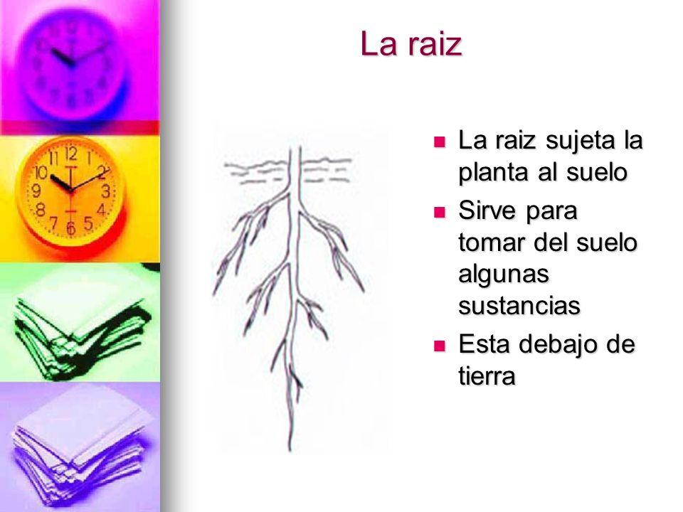 La raiz La raiz sujeta la planta al suelo La raiz sujeta la planta al suelo Sirve para tomar del suelo algunas sustancias Sirve para tomar del suelo a