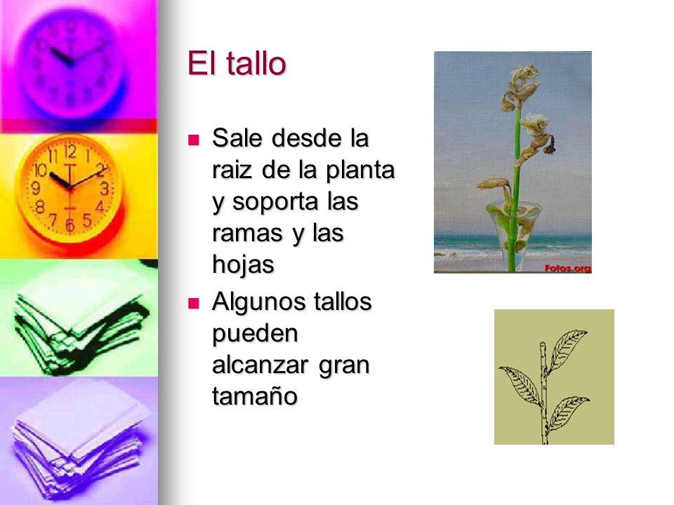 El tallo Sale desde la raiz de la planta y soporta las ramas y las hojas Sale desde la raiz de la planta y soporta las ramas y las hojas Algunos tallo