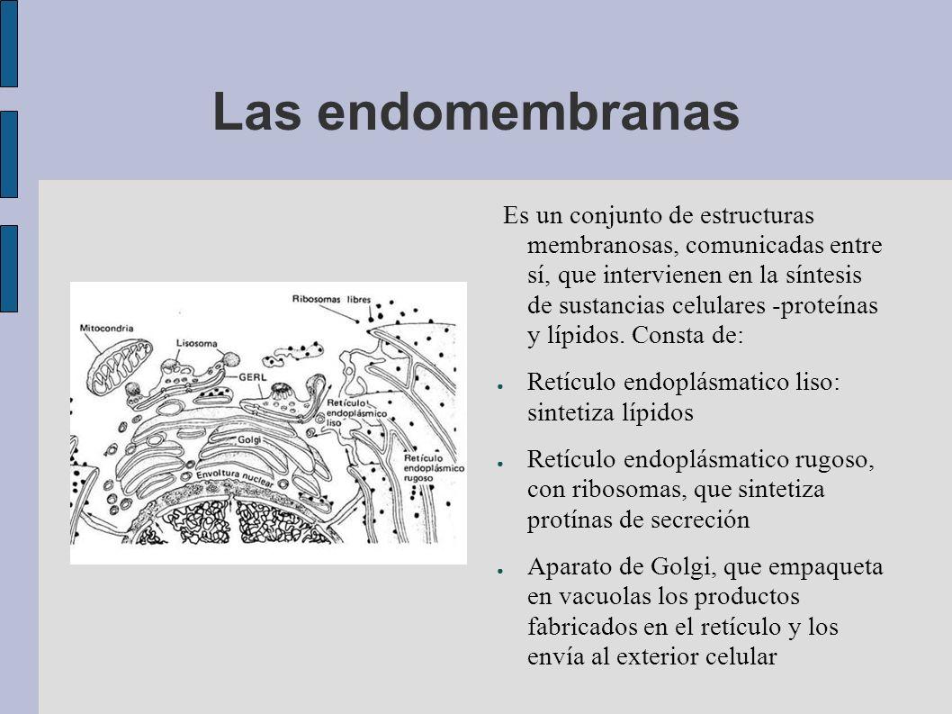 Las endomembranas Es un conjunto de estructuras membranosas, comunicadas entre sí, que intervienen en la síntesis de sustancias celulares -proteínas y