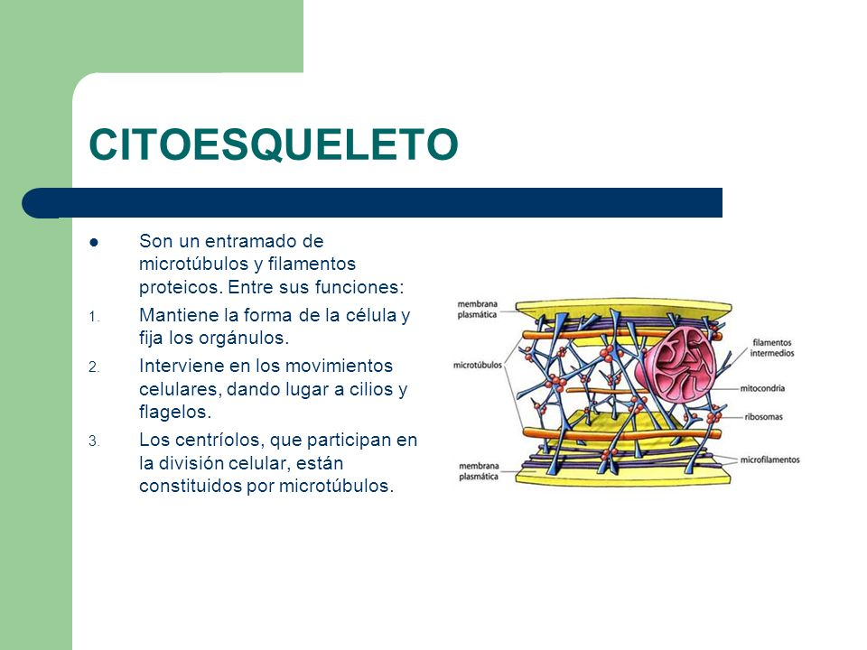 CITOESQUELETO Son un entramado de microtúbulos y filamentos proteicos. Entre sus funciones: 1. Mantiene la forma de la célula y fija los orgánulos. 2.