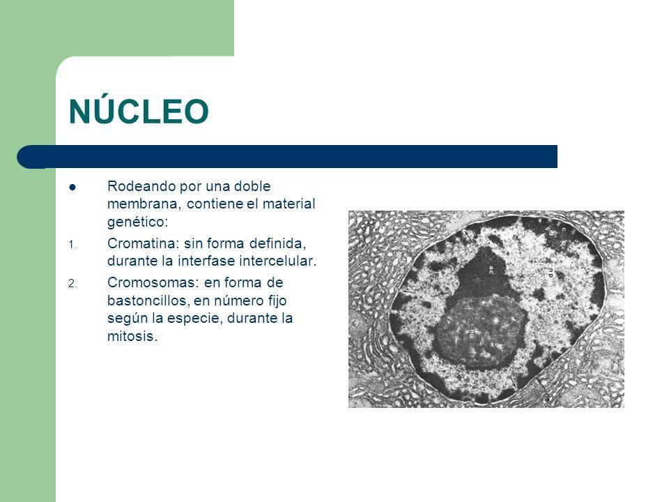 NÚCLEO Rodeando por una doble membrana, contiene el material genético: 1. Cromatina: sin forma definida, durante la interfase intercelular. 2. Cromoso