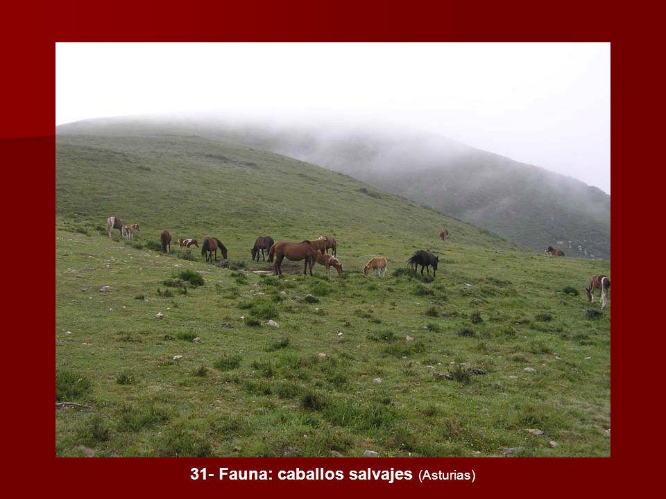 31- Fauna: caballos salvajes (Asturias)