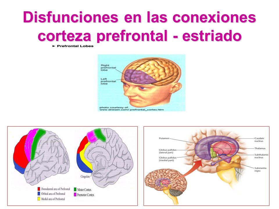 Disfunciones en las conexiones corteza prefrontal - estriado