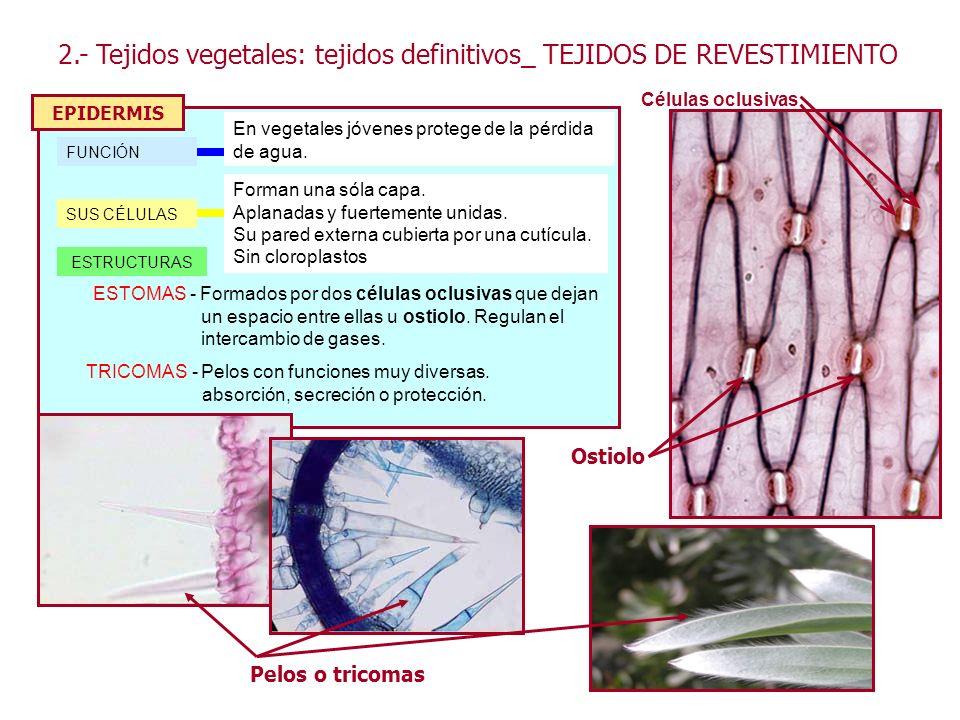 2.- Tejidos vegetales: tejidos definitivos_ TEJIDOS DE REVESTIMIENTO EPIDERMIS FUNCIÓN En vegetales jóvenes protege de la pérdida de agua. SUS CÉLULAS