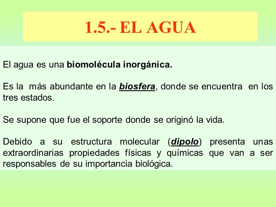 1.5.- EL AGUA El agua es una biomolécula inorgánica. Es la más abundante en la biosfera, donde se encuentra en los tres estados. Se supone que fue el