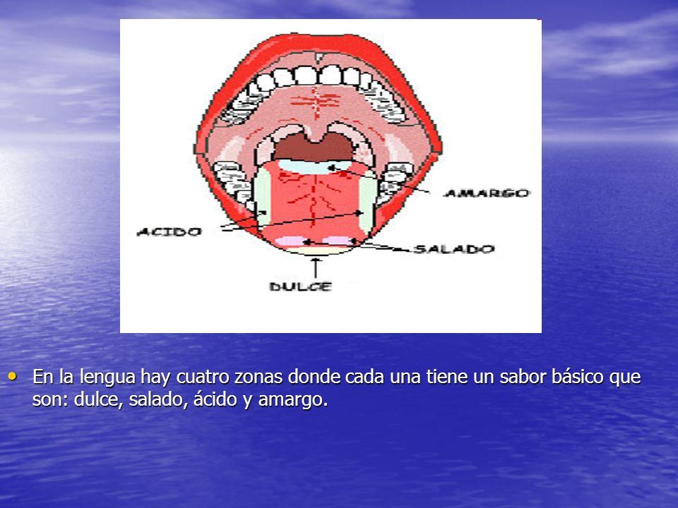 d En la lengua hay cuatro zonas donde cada una tiene un sabor básico que son: dulce, salado, ácido y amargo. En la lengua hay cuatro zonas donde cada