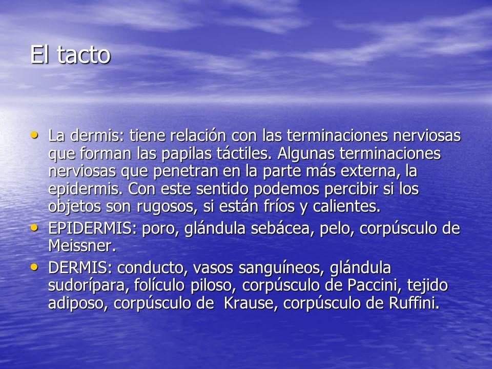 El tacto La dermis: tiene relación con las terminaciones nerviosas que forman las papilas táctiles. Algunas terminaciones nerviosas que penetran en la