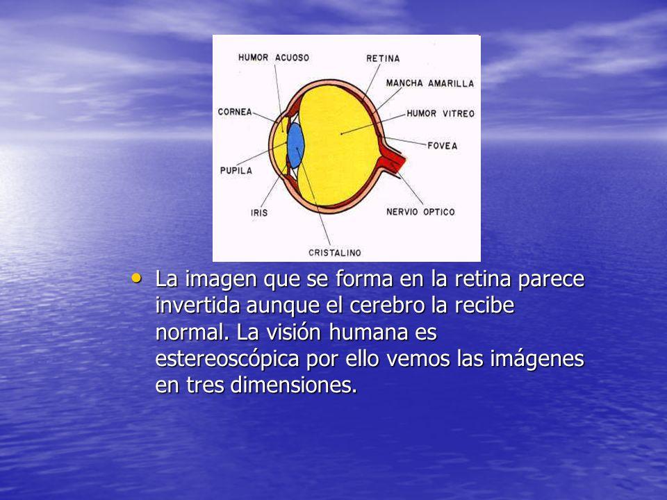 f La imagen que se forma en la retina parece invertida aunque el cerebro la recibe normal. La visión humana es estereoscópica por ello vemos las imáge