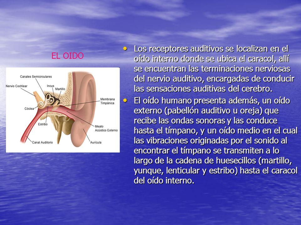 EL OIDO Los receptores auditivos se localizan en el oído interno donde se ubica el caracol, allí se encuentran las terminaciones nerviosas del nervio