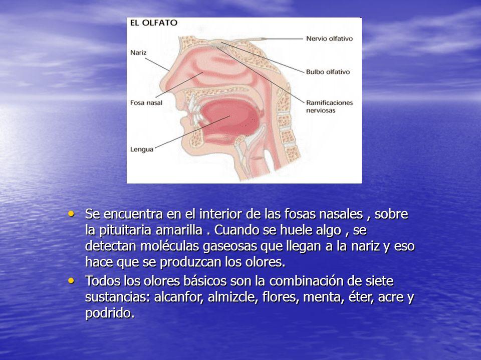d Se encuentra en el interior de las fosas nasales, sobre la pituitaria amarilla. Cuando se huele algo, se detectan moléculas gaseosas que llegan a la