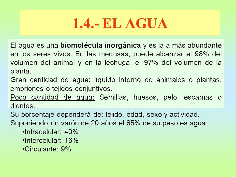 El agua es una biomolécula inorgánica y es la a más abundante en los seres vivos. En las medusas, puede alcanzar el 98% del volumen del animal y en la