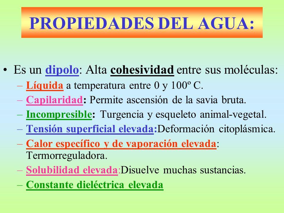 PROPIEDADES DEL AGUA: Es un dipolo: Alta cohesividad entre sus moléculas: –Líquida a temperatura entre 0 y 100º C. –Capilaridad: Permite ascensión de