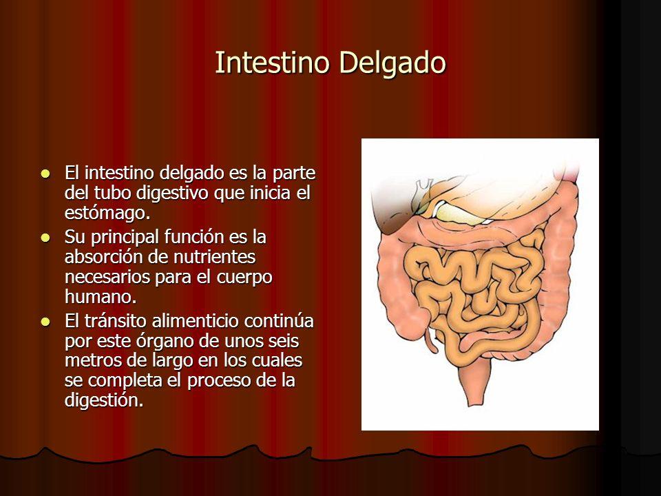 Intestino Delgado El intestino delgado es la parte del tubo digestivo que inicia el estómago. El intestino delgado es la parte del tubo digestivo que
