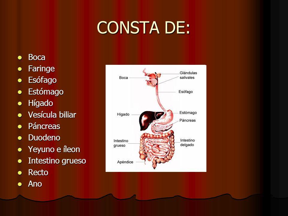 CONSTA DE: Boca Boca Faringe Faringe Esófago Esófago Estómago Estómago Hígado Hígado Vesícula biliar Vesícula biliar Páncreas Páncreas Duodeno Duodeno
