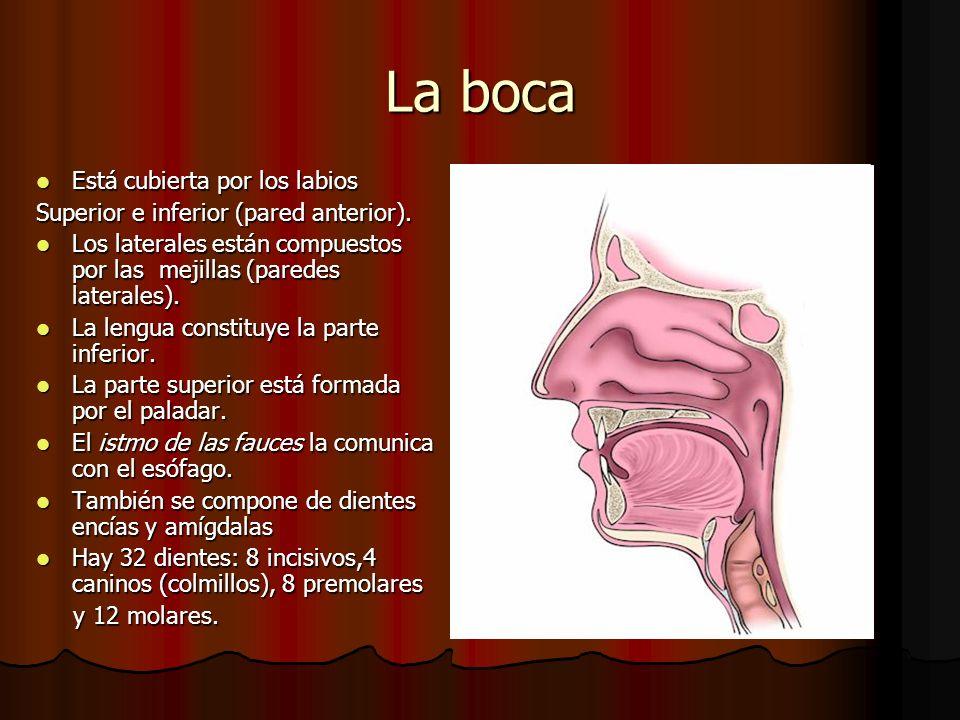 La boca Está cubierta por los labios Está cubierta por los labios Superior e inferior (pared anterior). Los laterales están compuestos por las mejilla