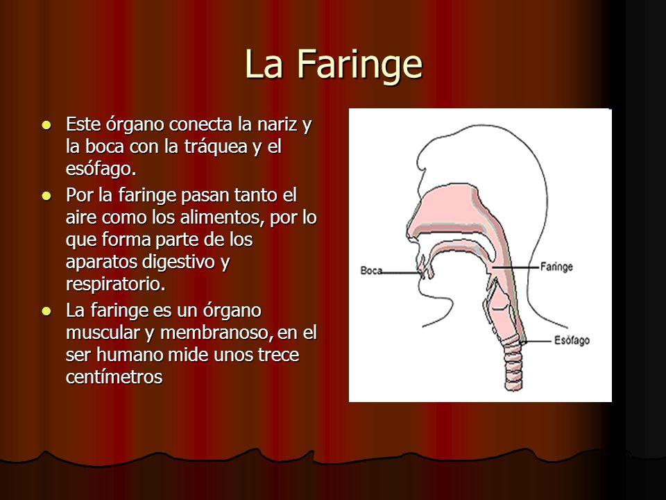 La Faringe Este órgano conecta la nariz y la boca con la tráquea y el esófago. Este órgano conecta la nariz y la boca con la tráquea y el esófago. Por