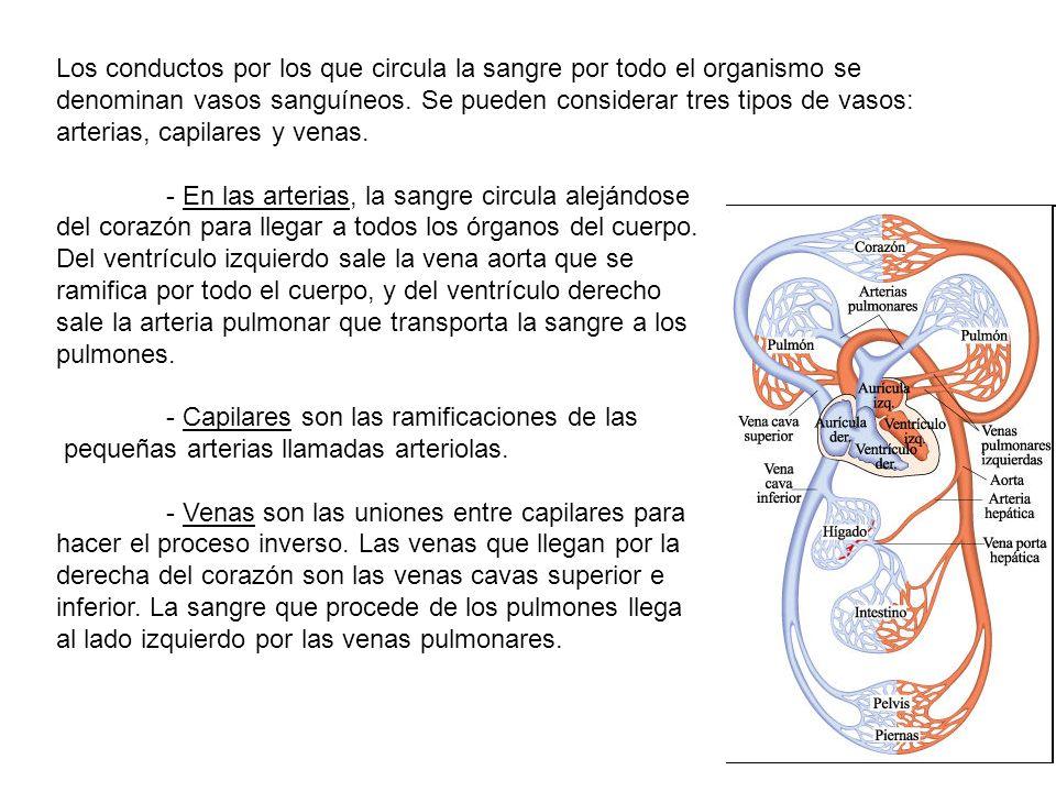 Los conductos por los que circula la sangre por todo el organismo se denominan vasos sanguíneos. Se pueden considerar tres tipos de vasos: arterias, c