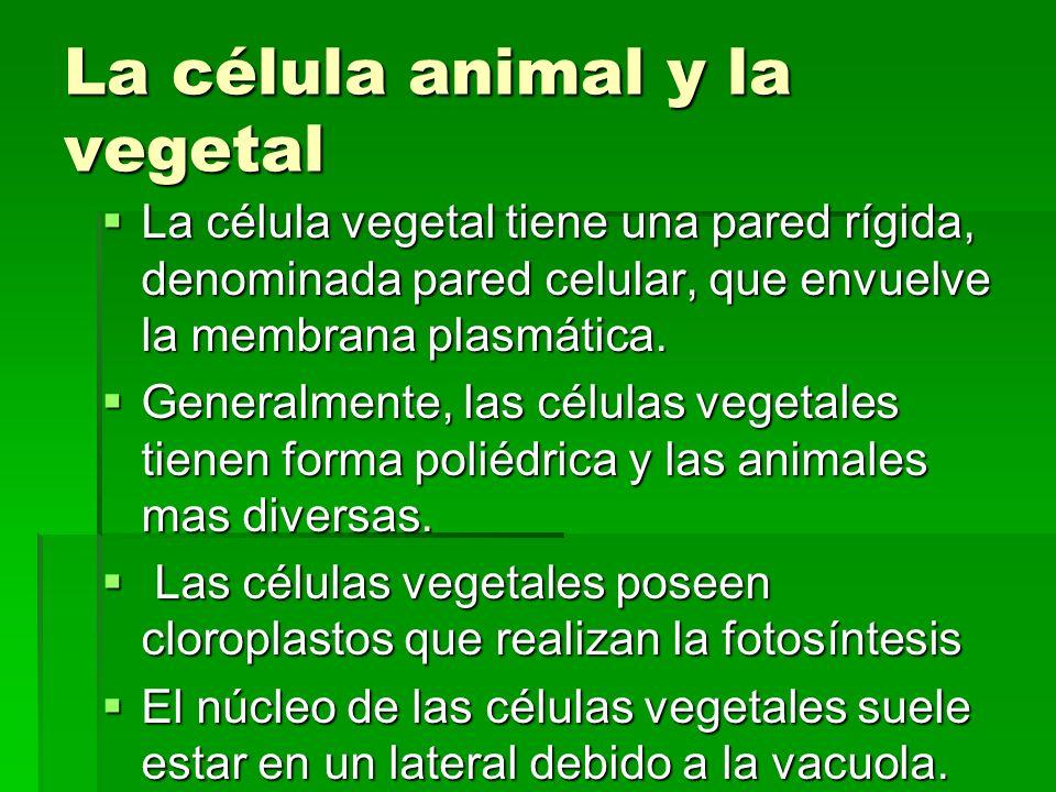 La célula animal y la vegetal La célula vegetal tiene una pared rígida, denominada pared celular, que envuelve la membrana plasmática. La célula veget