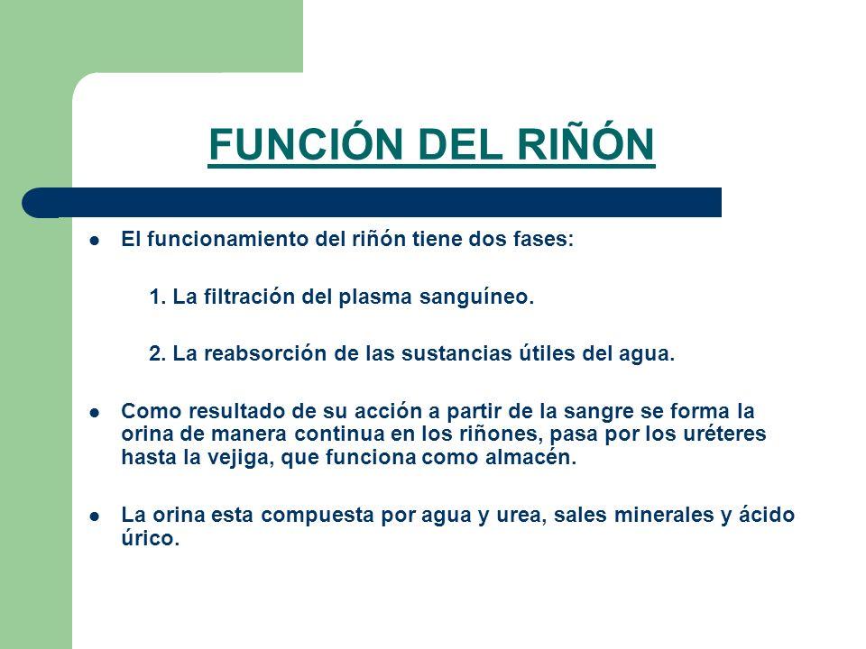 FUNCIÓN DEL RIÑÓN El funcionamiento del riñón tiene dos fases: 1. La filtración del plasma sanguíneo. 2. La reabsorción de las sustancias útiles del a