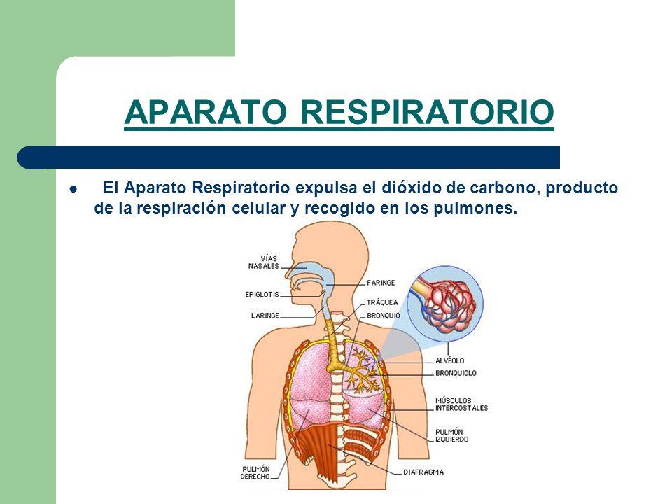 APARATO RESPIRATORIO El Aparato Respiratorio expulsa el dióxido de carbono, producto de la respiración celular y recogido en los pulmones.
