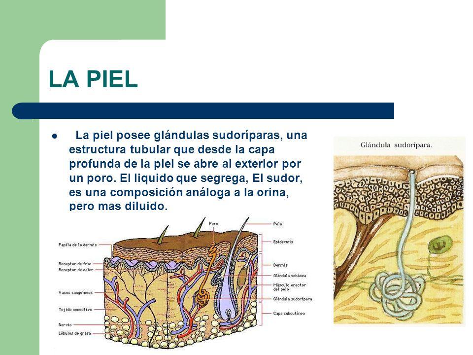 LA PIEL La piel posee glándulas sudoríparas, una estructura tubular que desde la capa profunda de la piel se abre al exterior por un poro. El liquido