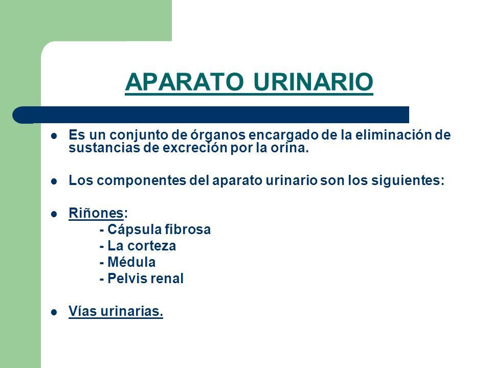 APARATO URINARIO Es un conjunto de órganos encargado de la eliminación de sustancias de excreción por la orina. Los componentes del aparato urinario s
