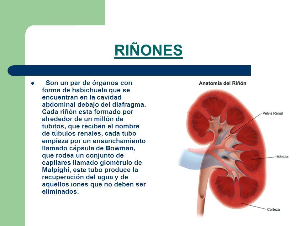 RIÑONES Son un par de órganos con forma de habichuela que se encuentran en la cavidad abdominal debajo del diafragma. Cada riñón esta formado por alre