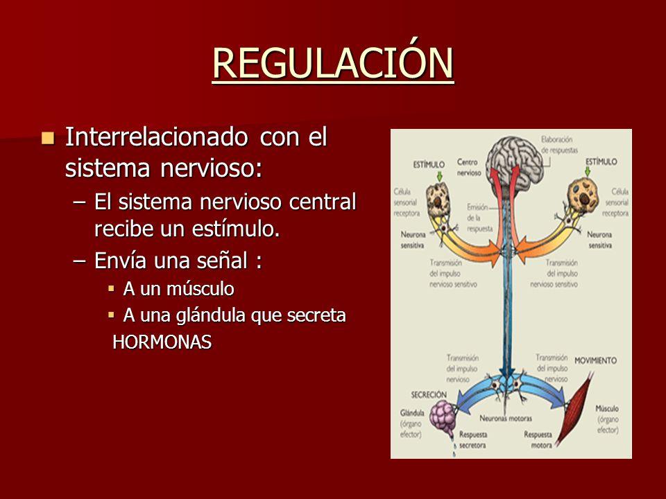 REGULACIÓN Interrelacionado con el sistema nervioso: Interrelacionado con el sistema nervioso: –El sistema nervioso central recibe un estímulo. –Envía