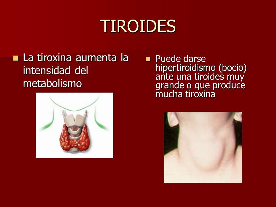 TIROIDES La tiroxina aumenta la intensidad del metabolismo La tiroxina aumenta la intensidad del metabolismo Puede darse hipertiroidismo (bocio) ante una tiroides muy grande o que produce mucha tiroxina Puede darse hipertiroidismo (bocio) ante una tiroides muy grande o que produce mucha tiroxina