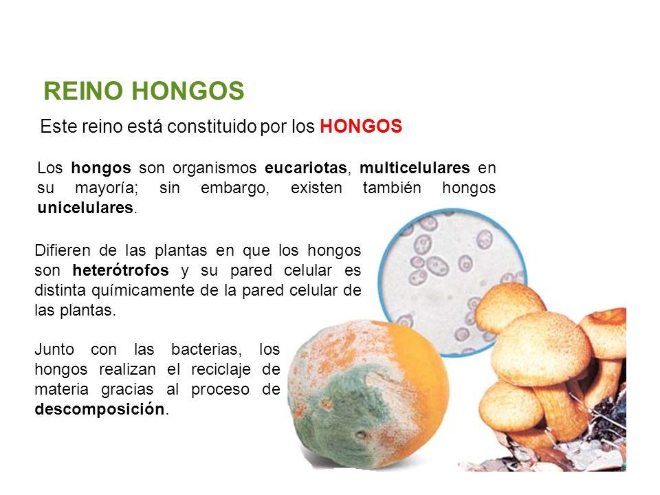Unidad 5: Clasificación de los seres vivos Los cinco reinos Santillana Este reino está constituido por los HONGOS REINO HONGOS Los hongos son organismos eucariotas, multicelulares en su mayoría; sin embargo, existen también hongos unicelulares.