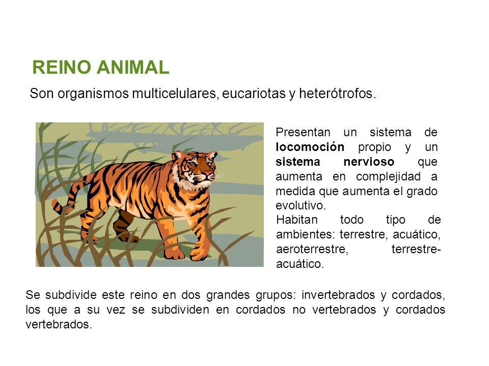 Unidad 5: Clasificación de los seres vivos Los cinco reinos Santillana Son organismos multicelulares, eucariotas y heterótrofos. REINO ANIMAL Presenta