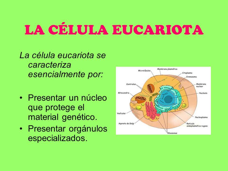 LA CÉLULA EUCARIOTA La célula eucariota se caracteriza esencialmente por: Presentar un núcleo que protege el material genético. Presentar orgánulos es