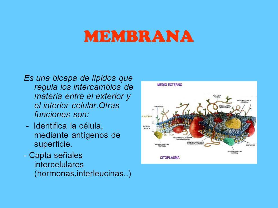 MEMBRANA Es una bicapa de lípidos que regula los intercambios de materia entre el exterior y el interior celular.Otras funciones son: - Identifica la