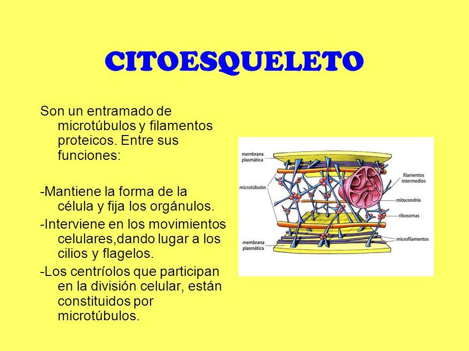 CITOESQUELETO Son un entramado de microtúbulos y filamentos proteicos. Entre sus funciones: -Mantiene la forma de la célula y fija los orgánulos. -Int