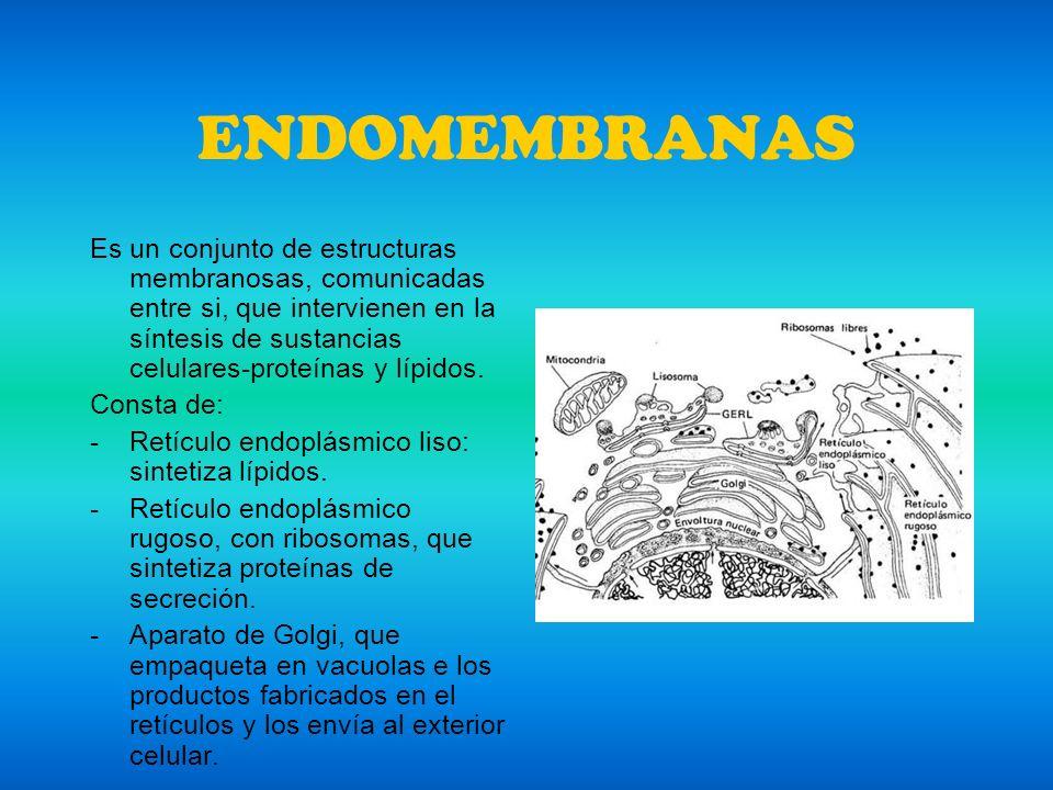ENDOMEMBRANAS Es un conjunto de estructuras membranosas, comunicadas entre si, que intervienen en la síntesis de sustancias celulares-proteínas y lípi