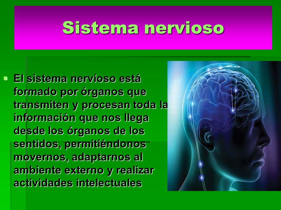 Sistema nervioso El sistema nervioso está formado por órganos que transmiten y procesan toda la información que nos llega desde los órganos de los sentidos, permitiéndonos movernos, adaptarnos al ambiente externo y realizar actividades intelectuales El sistema nervioso está formado por órganos que transmiten y procesan toda la información que nos llega desde los órganos de los sentidos, permitiéndonos movernos, adaptarnos al ambiente externo y realizar actividades intelectuales