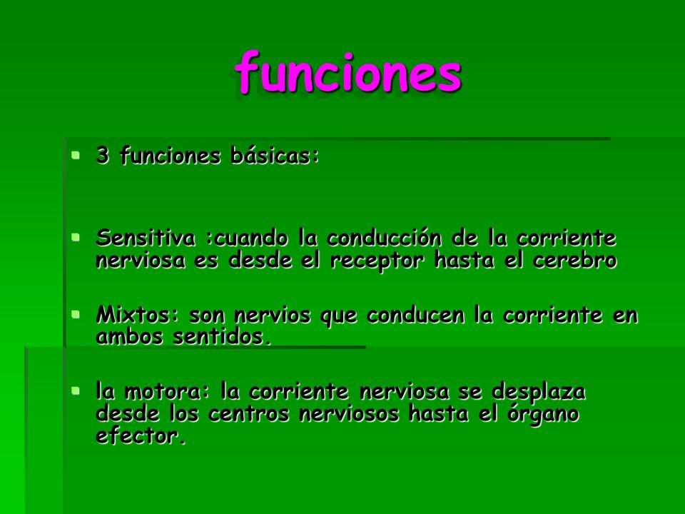 funcionesfunciones 3 funciones básicas: 3 funciones básicas: Sensitiva :cuando la conducción de la corriente nerviosa es desde el receptor hasta el cerebro Sensitiva :cuando la conducción de la corriente nerviosa es desde el receptor hasta el cerebro Mixtos: son nervios que conducen la corriente en ambos sentidos.